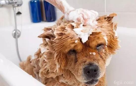 成年犬会感染细小吗 警惕这些细小症状