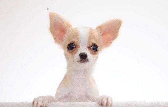 狗狗体味重怎么办 要香喷喷不要臭烘烘
