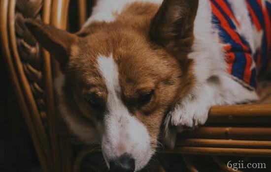 狗狗老咳嗽是怎么回事 小症状可能隐藏大疾病