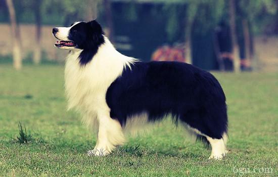 狗狗拉稀腥臭带血 狗狗拉稀有血且腥臭是什么症状