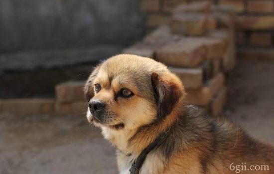 狗狗疫苗为什么会失效 狗疫苗失效是什么样的