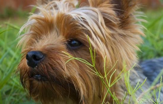 狗狗得传染性肝炎有哪些症状和表现 要注意与犬瘟区分哦