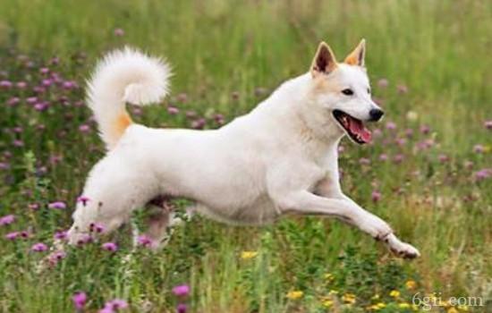 狗狗胰腺炎什么症状 教你认识犬胰腺炎