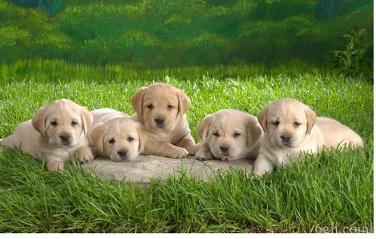 狗狗乳房硬块如何消除 狗狗乳房硬块吃什么药