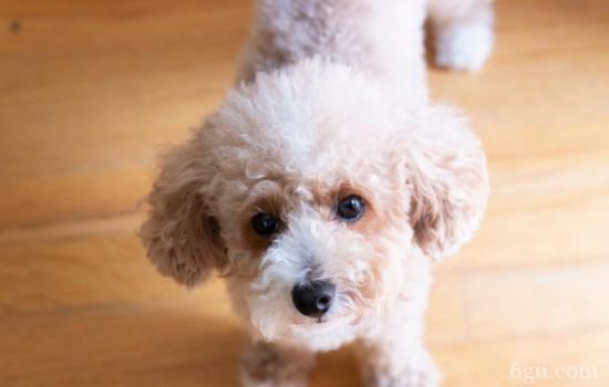狗狗子宫炎症怎样治疗 会导致狗狗不孕哦