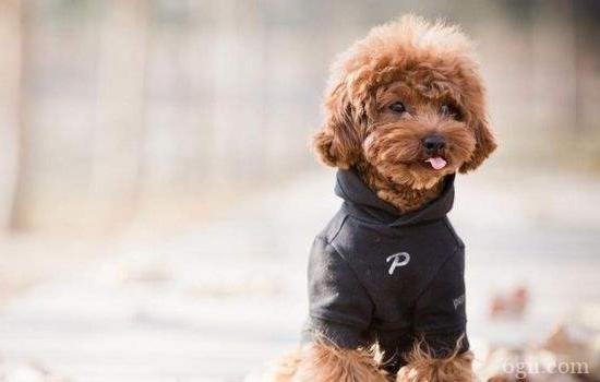 狗狗乳腺炎的症状 教你怎么处理狗狗乳腺炎