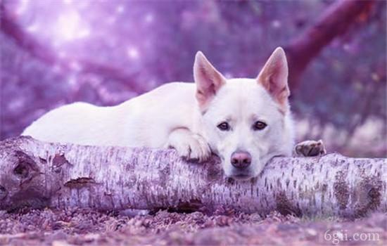 犬瘟的症状是什么 犬瘟严重可导致狗狗死亡
