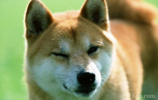 狗狗打疫苗的反应 狗狗打疫苗之后出现这些情况不要意外!