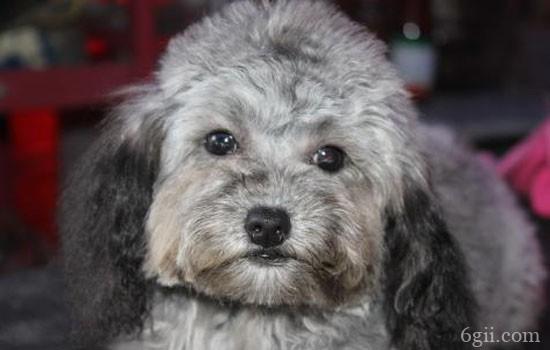 狗狗常见的眼部疾病 狗狗眼部常见的疾病都有哪些