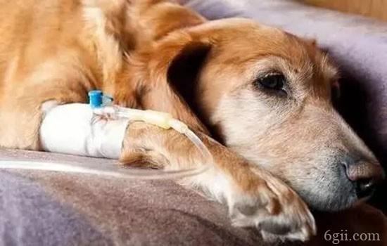 给狗狗打疫苗需要注意什么 你不知道的免疫事项