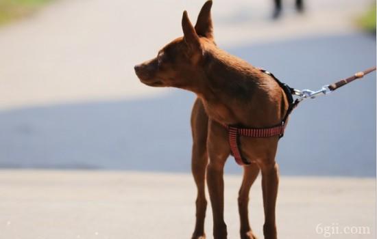 狗狗蛋白质缺乏的症状 补充蛋白质的方法