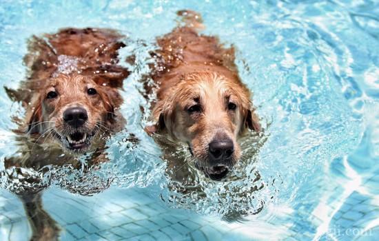 狗狗溺水怎么急救处理 预防意外发生
