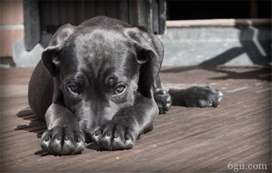 细小的潜伏期有多久 狗狗得细小的症状是什么