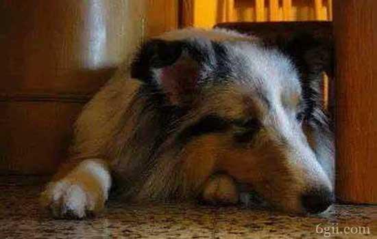 狗一直抽搐多久会死 狗狗出现抽搐的原因是什么