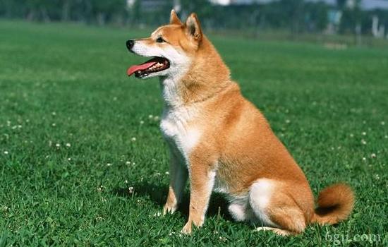 狗狗肠梗阻的症状及治疗 狗狗肠梗阻严重的话会要命的!