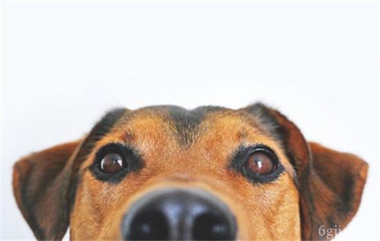 狗狗眼睛红肿凸出来了 第三眼睑增生是什么