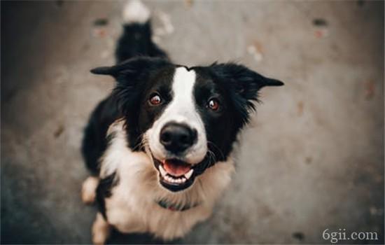 狗狗眼睛长息肉怎么办 狗狗眼睛长息肉一定要进行手术