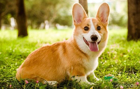 狗狗小便处有脓 狗狗小便处滴脓液一样的东西是什么