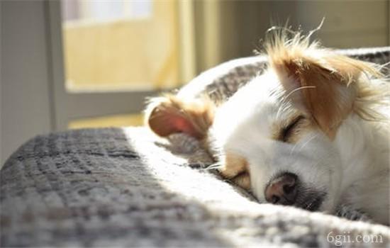 狗狗糖尿病症状 这四种表现代表狗狗有糖尿病了