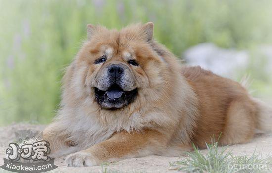 松狮突然呕吐怎么办 松狮犬突然呕吐的原因有哪些