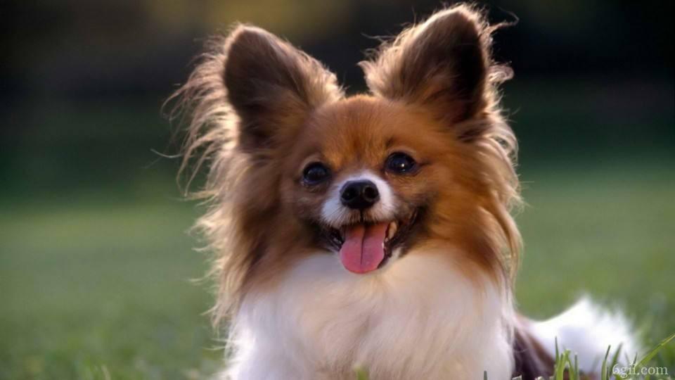 杂交蝴蝶犬多少钱一只 蝴蝶犬串串多少钱一只