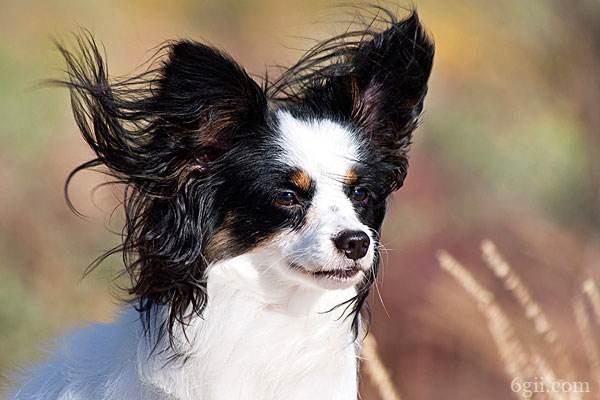 蝴蝶犬价格多少钱一只 蝴蝶犬一只多少钱