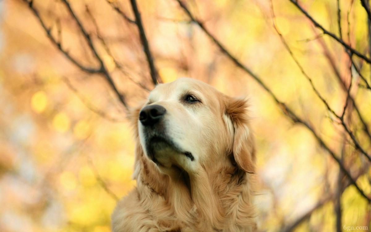 秋天的狗狗桌面壁纸