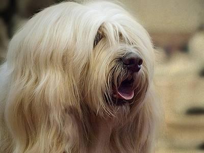 西藏梗图片 动物狗图片 家庭犬图片大全