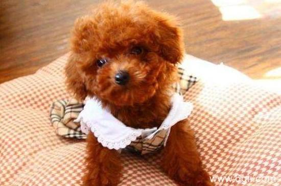 泰迪犬大小便训练