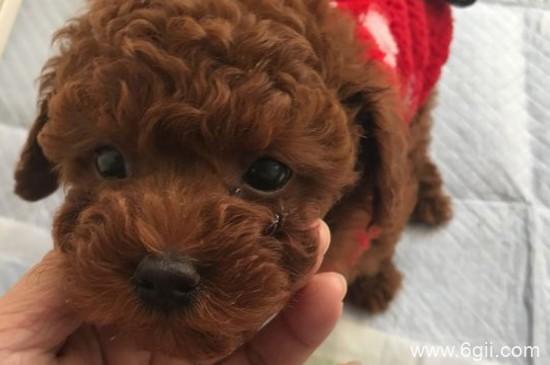 泰迪狗能吃板栗子吗