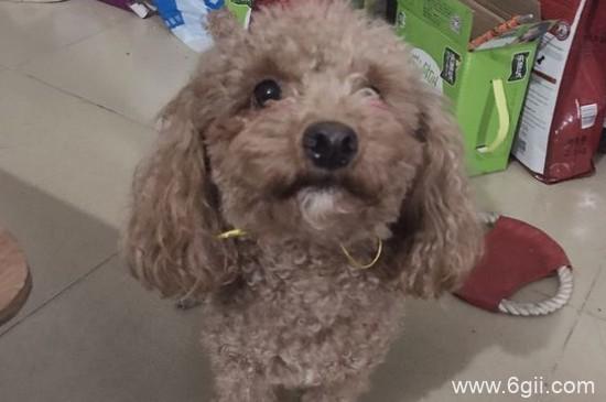 泰迪狗狗可以吃石榴吗